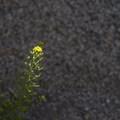 London rocket (Sisymbrium irio).- The Incredible Wildflowers of Joshua Tree National Park