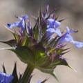 Chia (Salvia columbariae).- The Incredible Wildflowers of Joshua Tree National Park