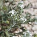 Bearded Cryptantha (Cryptantha barbigera).- The Incredible Wildflowers of Joshua Tree National Park