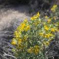 Narrowleaf Goldenbush (Ericameria linearifolia).- The Incredible Wildflowers of Joshua Tree National Park