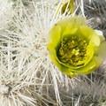 Chuckwalla Cholla (Cylindropuntia chuckwallensis).- The Incredible Wildflowers of Joshua Tree National Park