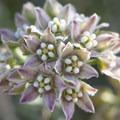 Hairy milkweed (Funastrum hirtellum).- The Incredible Wildflowers of Joshua Tree National Park