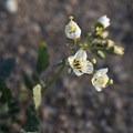 Browneyes (Chylismia claviformis).- The Incredible Wildflowers of Joshua Tree National Park