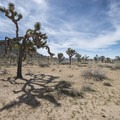 Joshua trees (Yucca brevifolia) in Joshua Tree National Park.- The Incredible Wildflowers of Joshua Tree National Park