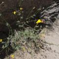 Shrubby deervetch (Acmispon rigidus).- The Incredible Wildflowers of Joshua Tree National Park