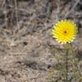 Desert dandelion (Malacothrix glabrata).- The Incredible Wildflowers of Joshua Tree National Park