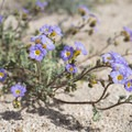 - The Incredible Wildflowers of Joshua Tree National Park