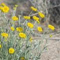 Woolly desert marigold (Baileya pleniradiata).- The Incredible Wildflowers of Joshua Tree National Park