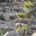 Joshua tree (Yucca brevifolia) in Joshua Tree National Park.- The Incredible Wildflowers of Joshua Tree National Park