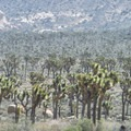 Joshua Tree National Park.- The Incredible Wildflowers of Joshua Tree National Park