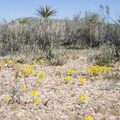 Wallace's woolly daisy (Eriophyllum wallacei).- The Incredible Wildflowers of Joshua Tree National Park