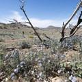 Notch-leaf Scorpion-weed (Phacelia crenulata).- The Incredible Wildflowers of Joshua Tree National Park