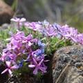 Moss campion (Silene acaulis).- Wildflower Hikes in Oregon