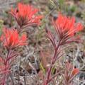 Indian paintbrush (Castilleja).- Wildflower Hikes in Oregon