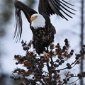 Adult eagles usually stay in the park year round. Look for them by large lakes and rivers. Photo credit: Chris Daniel.- 5 Reasons to Visit West Yellowstone, Montana this Fall