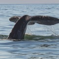 Gray Whale (Eschrichtius robustus).- Best Whale Watching on the West Coast