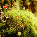 Broom moss (Dicranum scoparium) and lipstick cladonia, a type of lichen.- An Ode to Moss