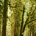 Moss adorned trees along Eagle Creek, a tributary of the Clackamas River.- An Ode to Moss