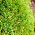 Broom moss (Dicranum scoparium).- An Ode to Moss