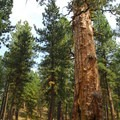 """""""Big Tree"""" ponderosa pine, LaPine State Park, Oregon.- State and County Parks and Forests"""