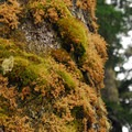 Moss covered tree in the Indian Heaven Wilderness.- An Ode to Moss