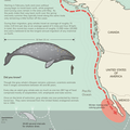 Gray Whale Migration and Diving Diagram- Best Whale Watching on the West Coast