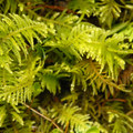 Oregon beaked moss (Kindbergia oregana).- An Ode to Moss