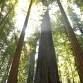 Coastal redwoods, Jedediah Smith Redwoods State Park, California.- State and County Parks and Forests