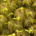 Step moss (Hylocomium splendens).- An Ode to Moss