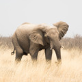 An elephant in Etosha National Park.- The Ultimate Namibia Road Trip