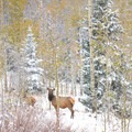 Elk in the proposed addition to the Ptarmigan Peak Wilderness. - Meet Conservation Colorado