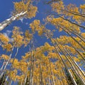 """The classic """"canopy of yellow aspen"""" shot.- How to Photograph Autumn Colors"""