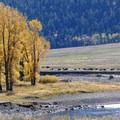 Lamar Valley, known for its spectacular herds of bison, comes alive with color in the fall. Photo credit: Diane Renkin.- 5 Reasons to Visit West Yellowstone, Montana this Fall