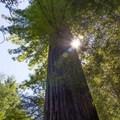 - Big Tree Trail