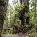 - Kalaloch Big Cedar Tree + Grove