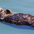 - Morro Bay Sea Otter Viewing