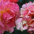- International Rose Test Garden