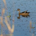 A young female mallard (Anas platyrhynchos) at the William L. Finley National Wildlife Refuge.- 5 Fun Facts About Ducks