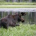 Moose at Silver Lake.- 3-Day Itinerary for Big Cottonwood Canyon
