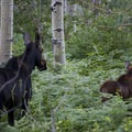 Moose look docile but account for more human deaths in the U.S. than all other wild animals.- Look But Don't Touch: Etiquette in the Wild