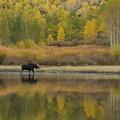 Moose at Willow Lake.- 3-Day Itinerary for Big Cottonwood Canyon