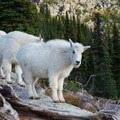 There are plenty of goats in Glacier National Park.- A Guide to Backpacking Glacier via Amtrak
