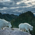 Mountain goats are abundant in the park.- A Guide to Backpacking Glacier via Amtrak