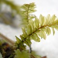 Green spleenwort (Asplenium viride).- An Ode to Moss!