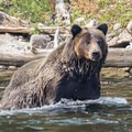 Bear sightings become more frequent along the roadside in the fall, especially in October. Photo credit: Carolyn Fox.- 5 Reasons to Visit West Yellowstone, Montana this Fall