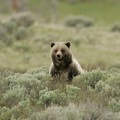 In the fall, grizzlies enter a period called hyperphagia, a time marked by increased feeding and weight gain. Photo credit: Jim Peaco.- 5 Reasons to Visit West Yellowstone, Montana this Fall