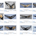 Examples of humpback whale fluke identification photos used by Happywhale.- Introducing Happywhale - Where Citizen Science and Ecotourism Meet