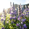 Arctic lupine beneath the midnight sun.- The Secret to Avoiding Summertime Crowds in Iceland