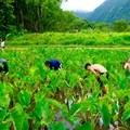 Shenanigans and work in Waipi'o Valley.- Volunteering Vacations on Hawai'i's Big Island