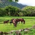 Waipi'o is known for its wild horses.- Volunteering Vacations on Hawai'i's Big Island